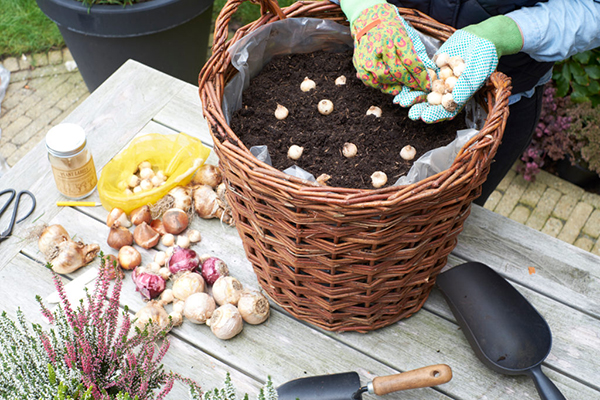 Planting spring flowering bulbs in basket, bulb lasagne, autumn, gardening, image library