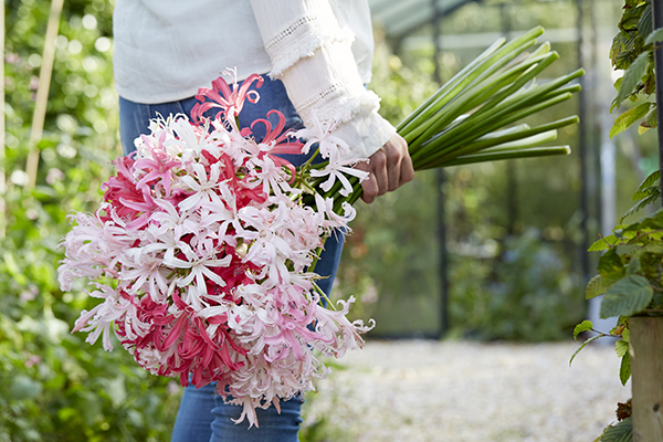 Nerine flowers, bouquet, pink and white, holding, bunch of bulbous plants