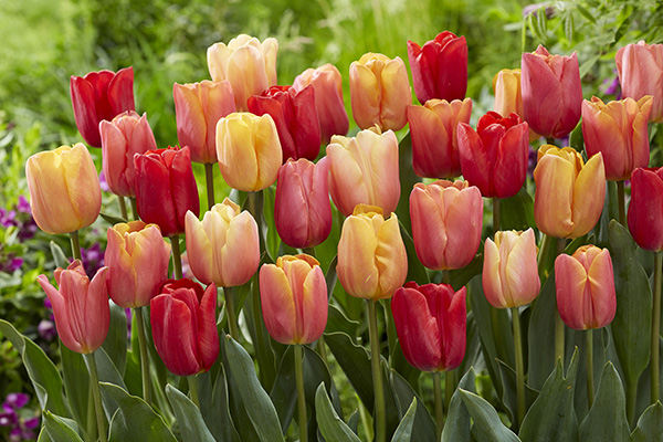 Mixed red, orange and pink tulips. Tulipa Jimmy mix