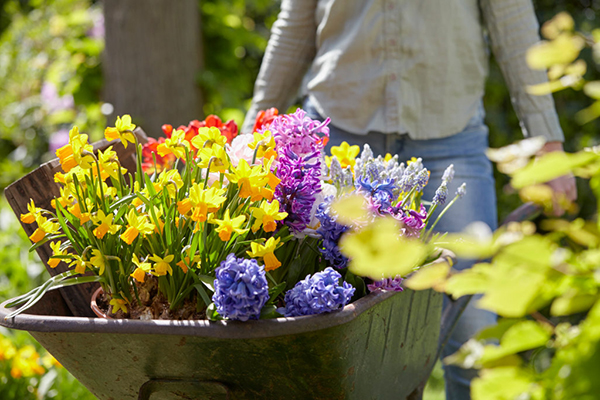 Wheelbarrow with spring flowering bulbs, lifestyle photography
