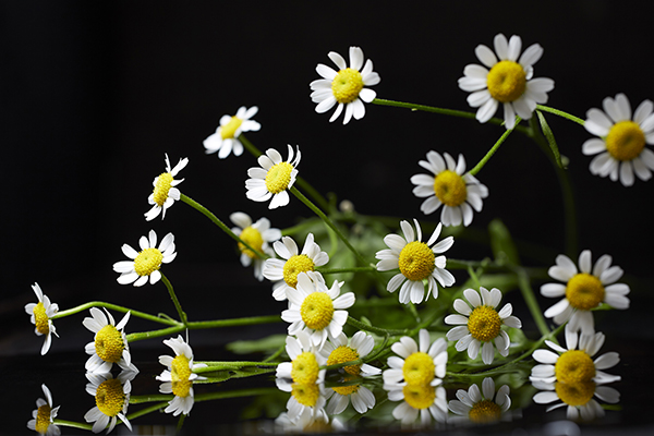 White Tanacetum flowers on black background