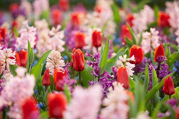 Spring flowering bulbs, tulips, hyacinths, botanical stock photography