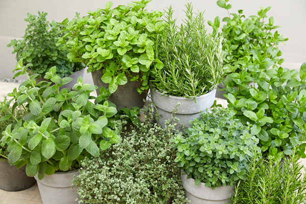 Mixed herbs on pots, edible, grow your own, summer, botanical image library