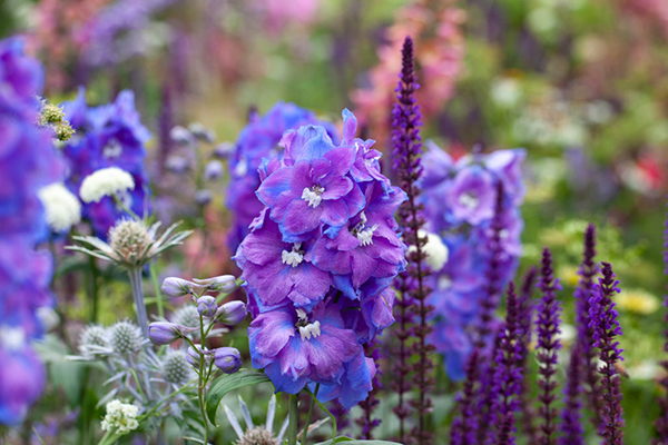 Delphinium, Salvia, perennials, mixed, botanical photography, summer, image library