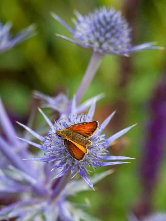 Skipper butterfly, insect, eryngium, perennial, blue, summer, botanical photography, image library