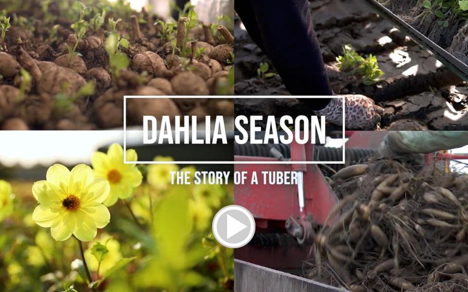 videos, filmpjes, dahlia's planten, tuinieren, zomerbloeiers, botanische stock fotografie, beeldbank