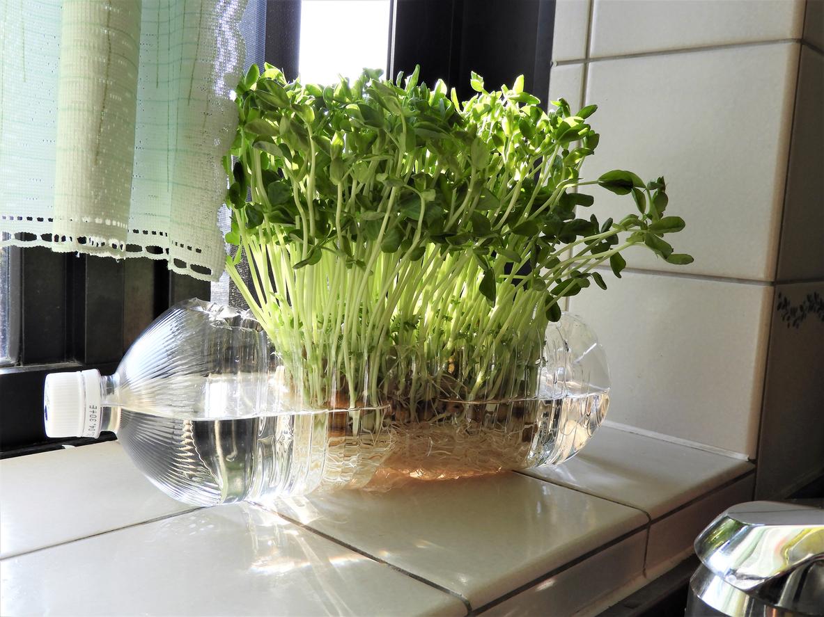 Hydroponik ist ein Begriff aus der Botanik, der sich auf die Pflanzenanzucht ohne Erde bezieht.