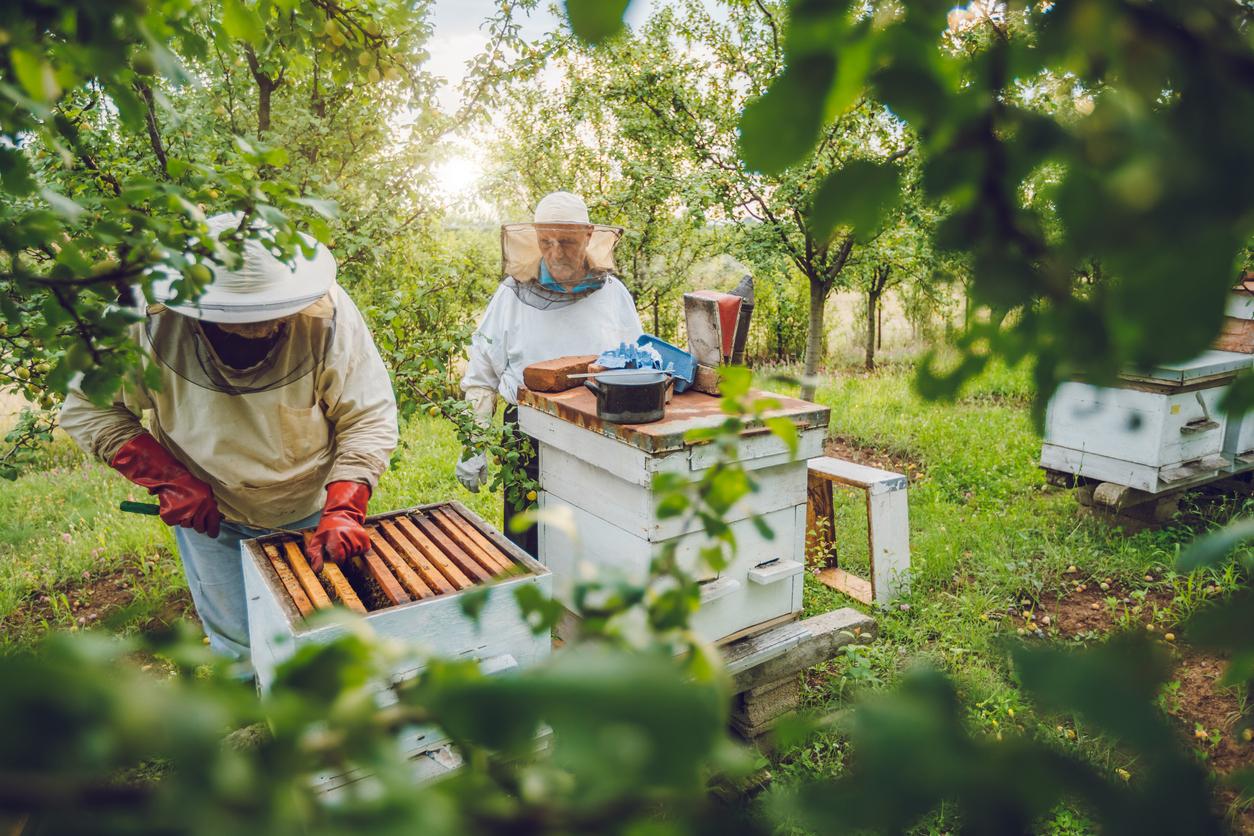 Bienen im Garten zu halten, setzt ausführliches Basiswissen voraus, damit die Tiere gesund bleiben und der Staat gedeiht.