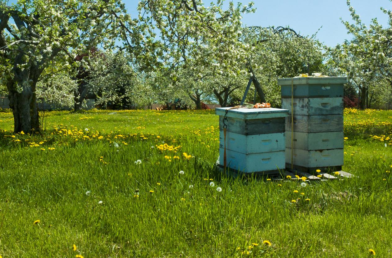 Imkern als Hobby wird immer beliebter. Erkundigen Sie sich aber vor der Anschaffung eines Bienenvolkes nach dem richtigen Vorgehen.