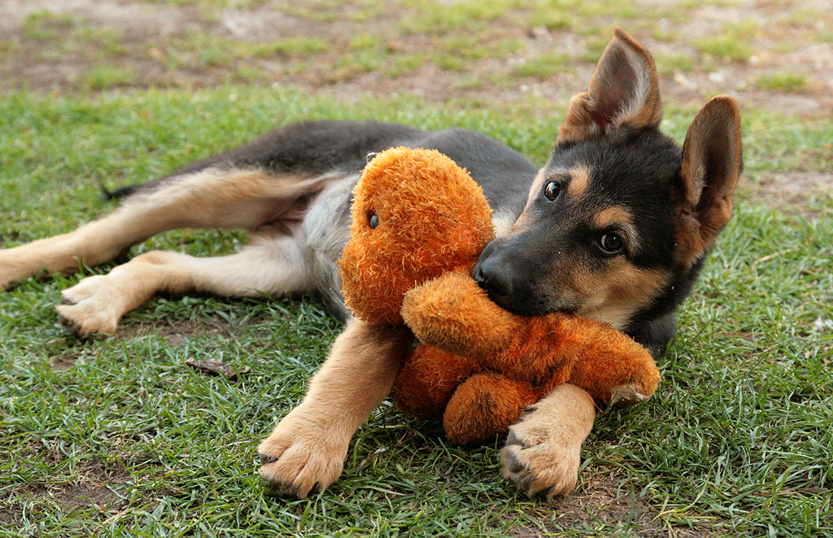 A german shepherd puppy playing with a stuffed toy while laying on grass.
