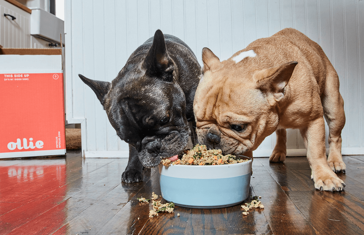 Two french bulldogs eating a bowl of fresh Ollie dog food.