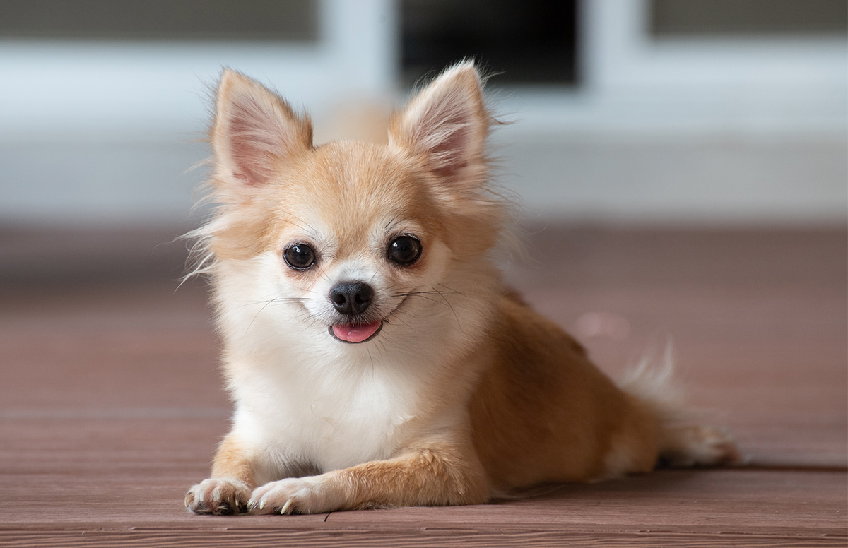 A happy chihuahua laying on a wooden floor.