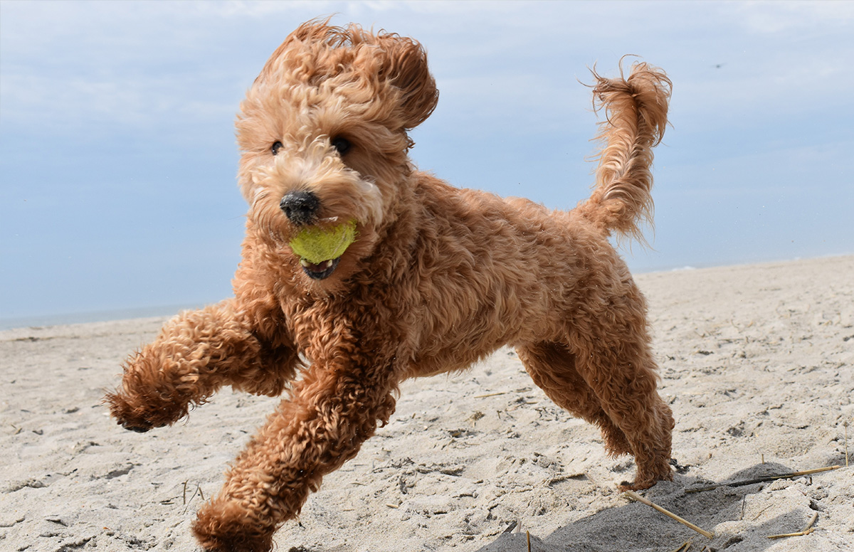 A happy goldendoodle playing in a beach with a ball in its mouth.