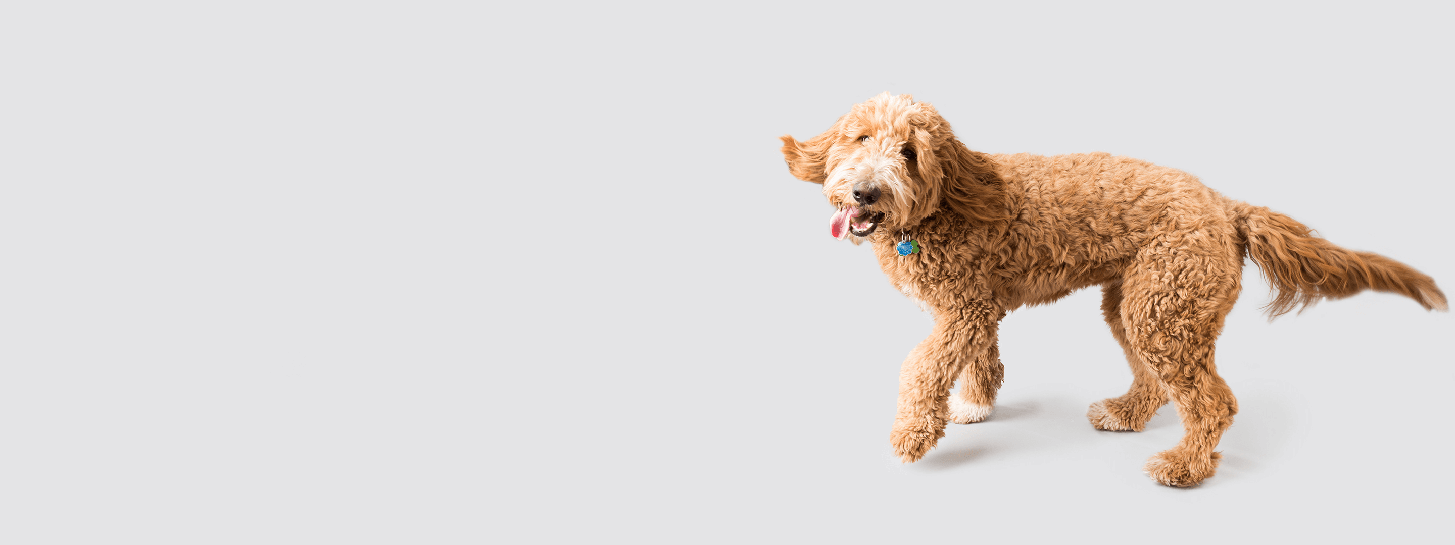 A happy goldendoodle looking up.