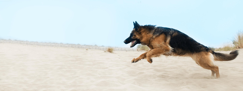 A german shepherd running on the beach.