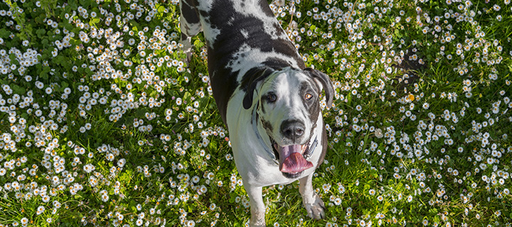 Happy dog standing over a field of white flowers and grass, looking up.