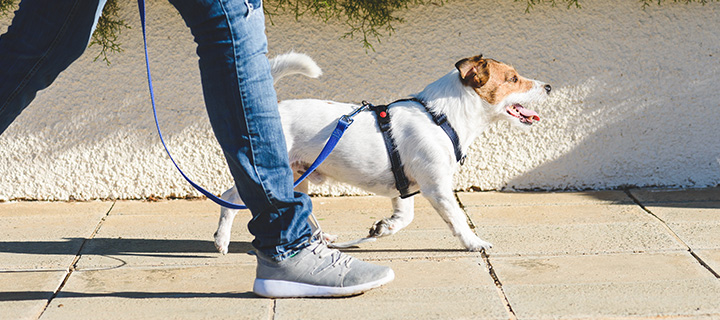 A dog in a harness and leash, walking beside a person on a sidewalk.