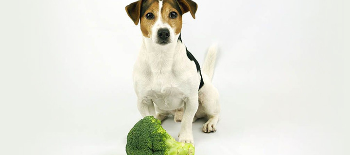 A dog sitting on a white floor with a broccoli in front of it.