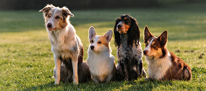Four dogs of different breeds sitting still on a field of grass.