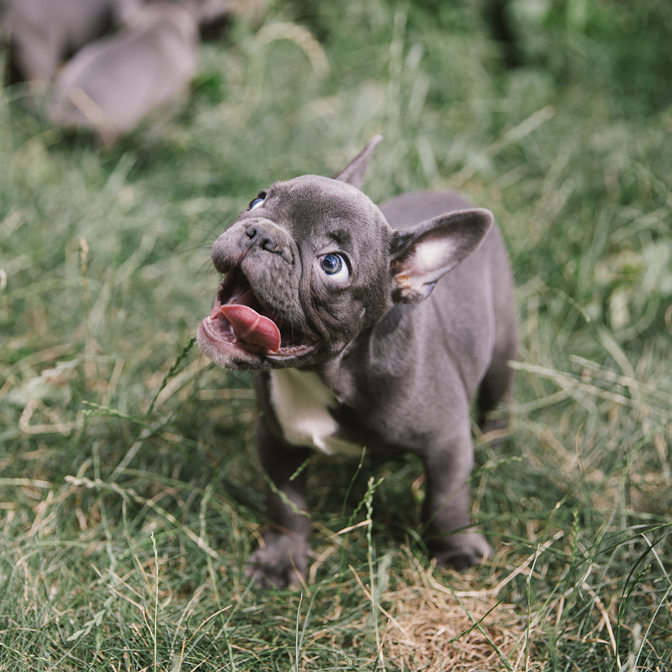 A happy french bulldog puppy standing on grass.