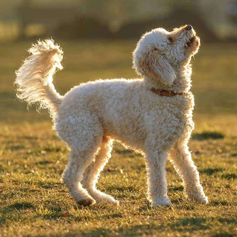 An excited goldendoodle looking up while standing in a grassy field.