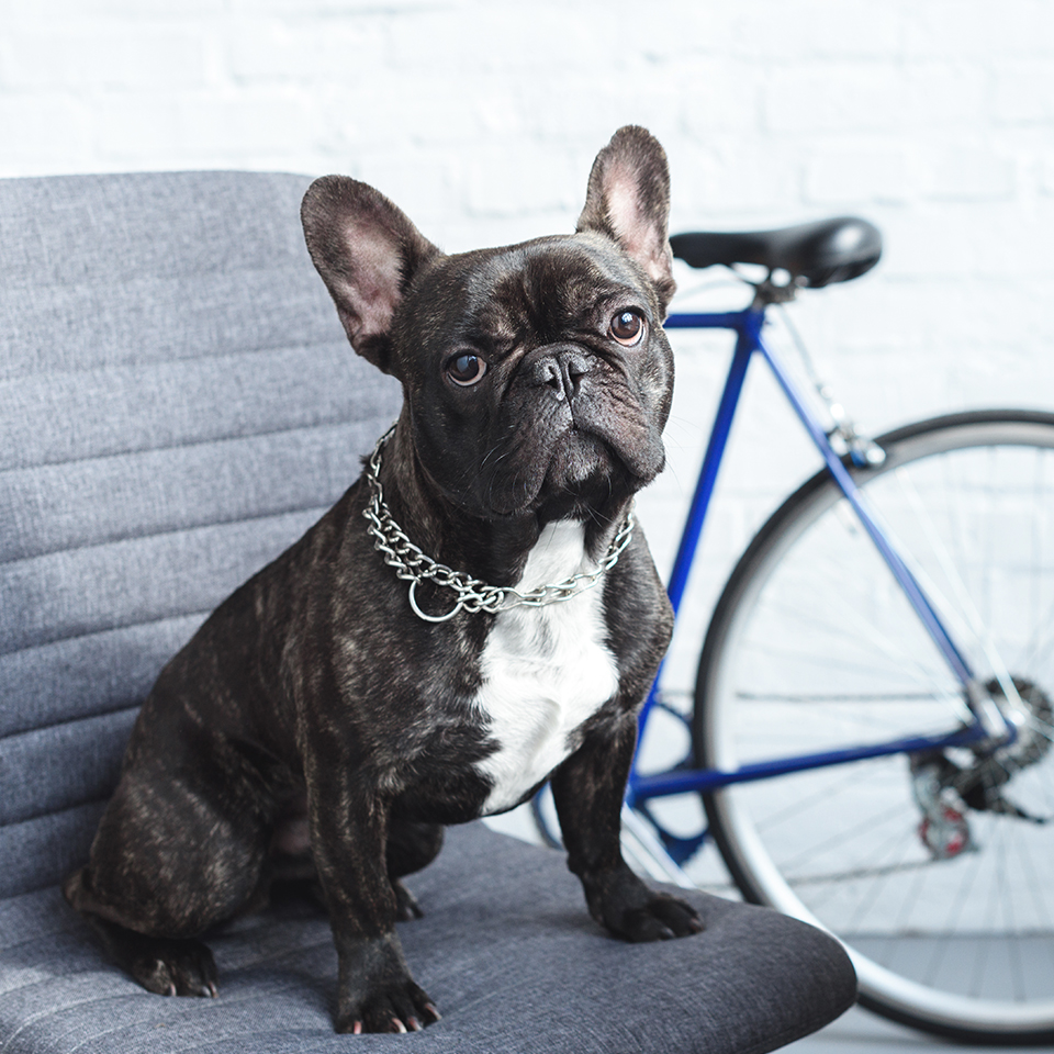 A french bulldog sitting on a chair next to a bike.