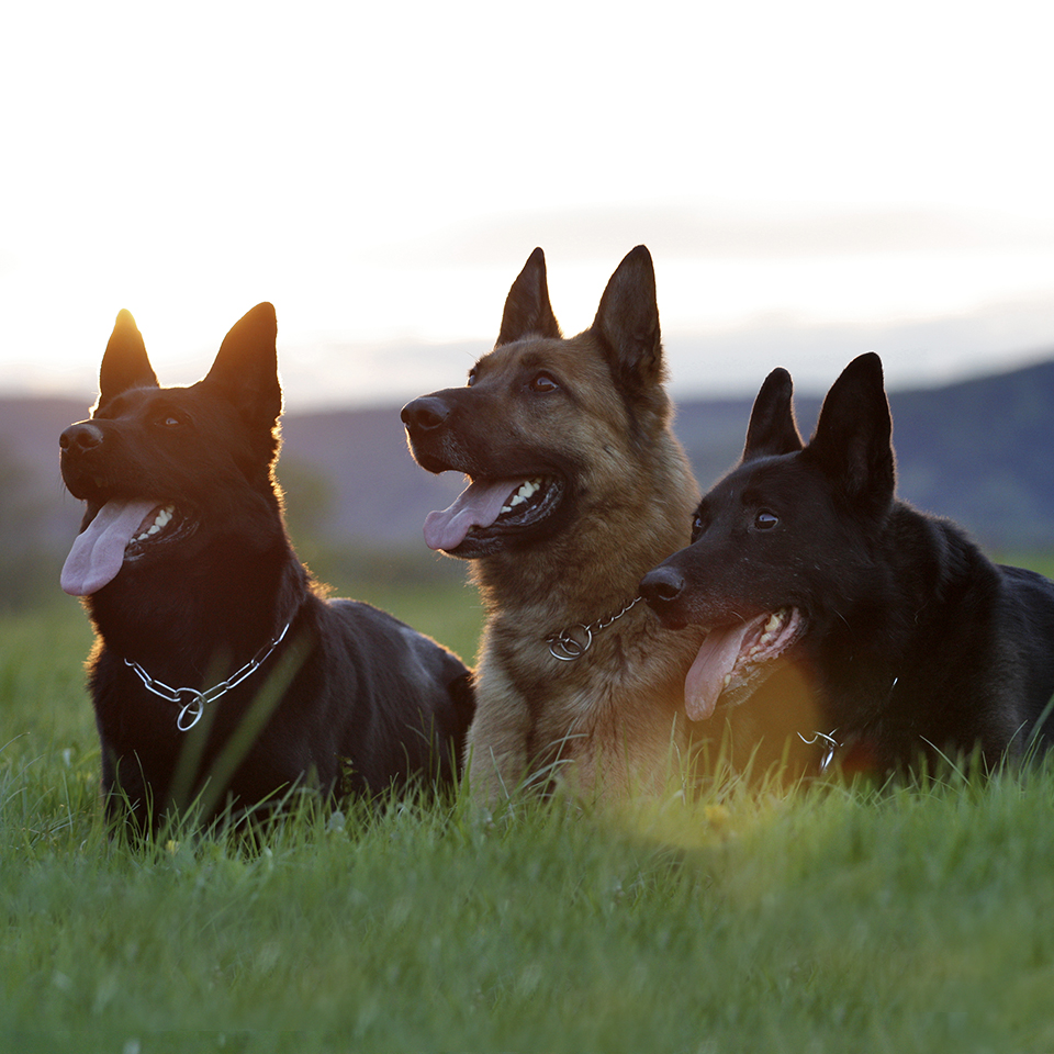 Three happy german shepherds laying in a grassy field.
