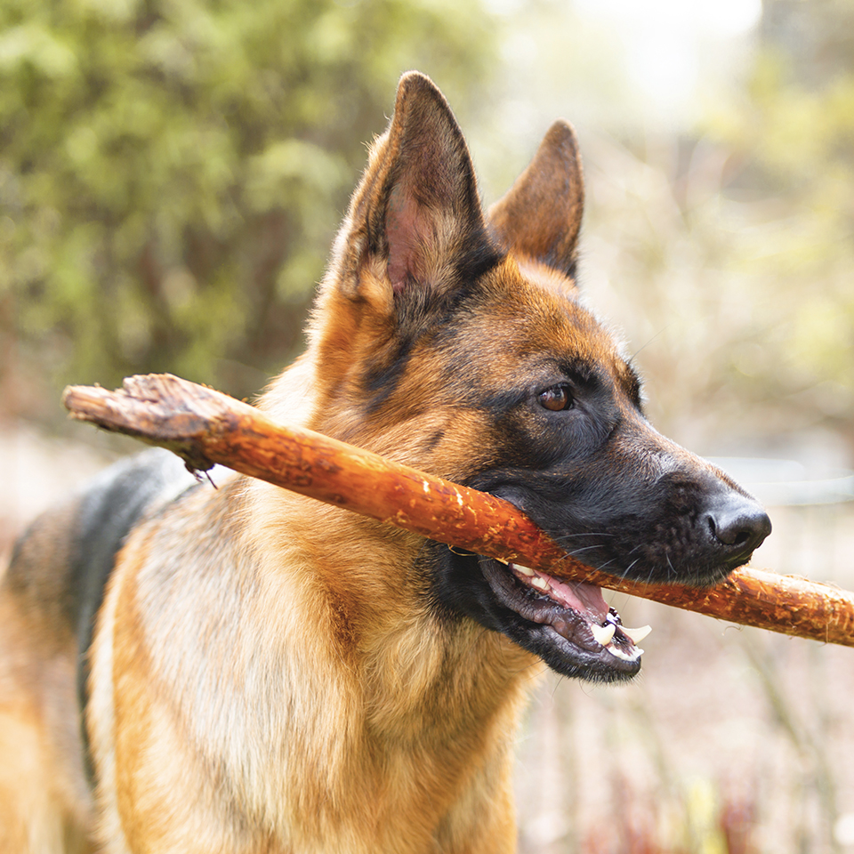 German shepherd holding a stick in its mouth.
