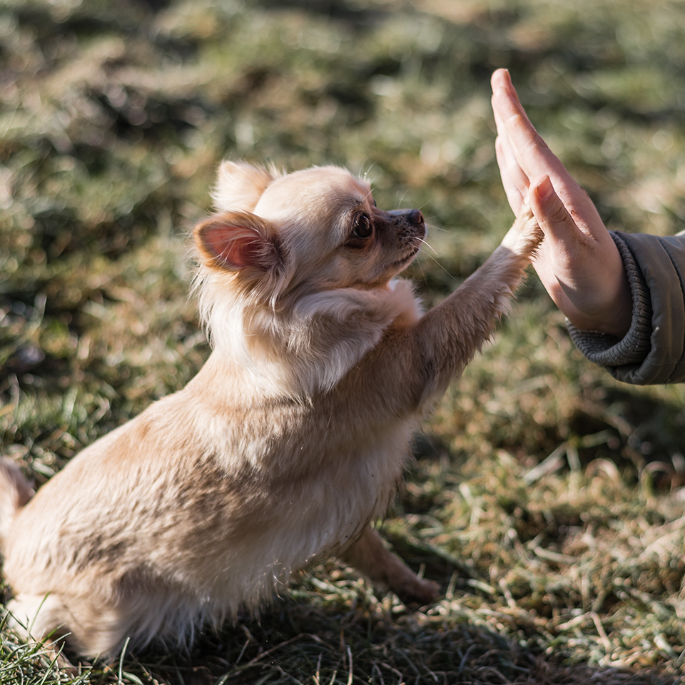 A chihuahua sitting on grass and giving a high-five to a person.