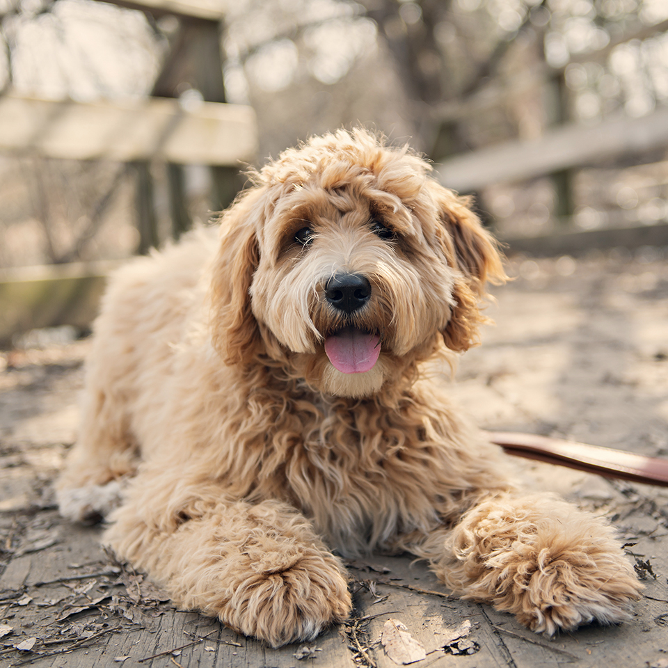 A happy goldendoodle laying on a wooden floor outdoors.
