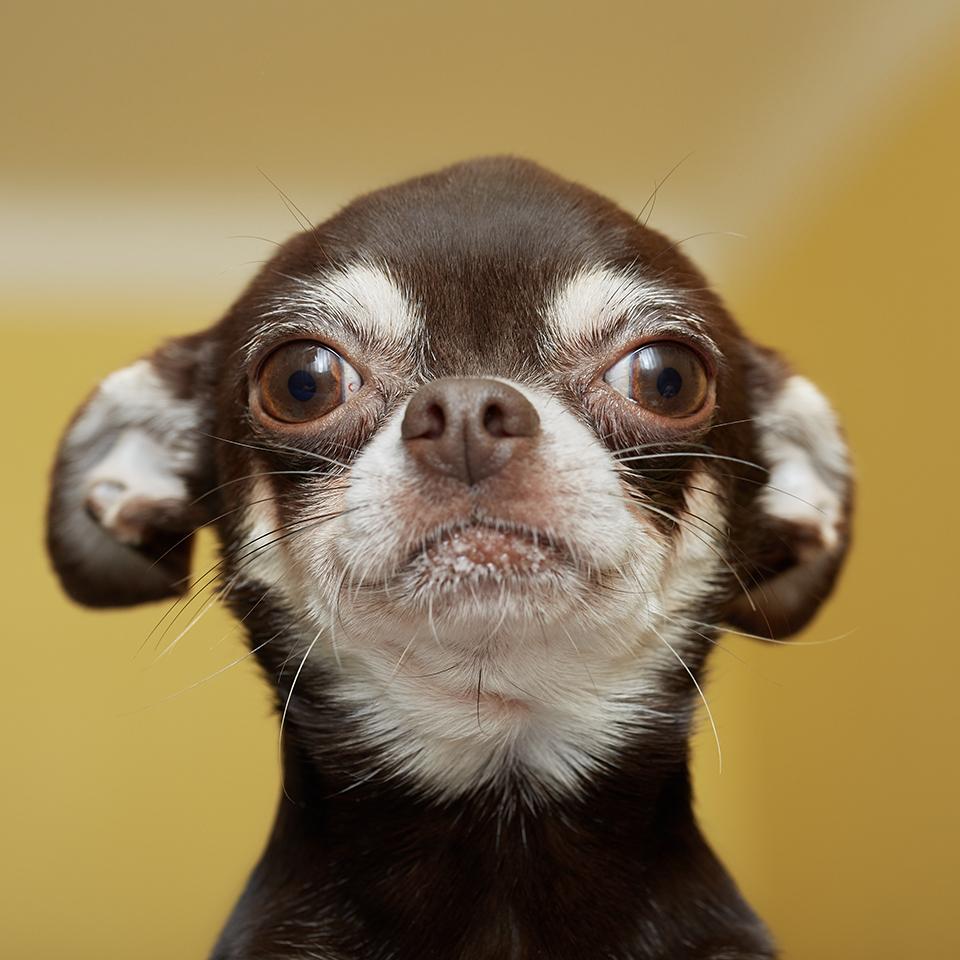 A close-up headshot of a calm chihuahua.