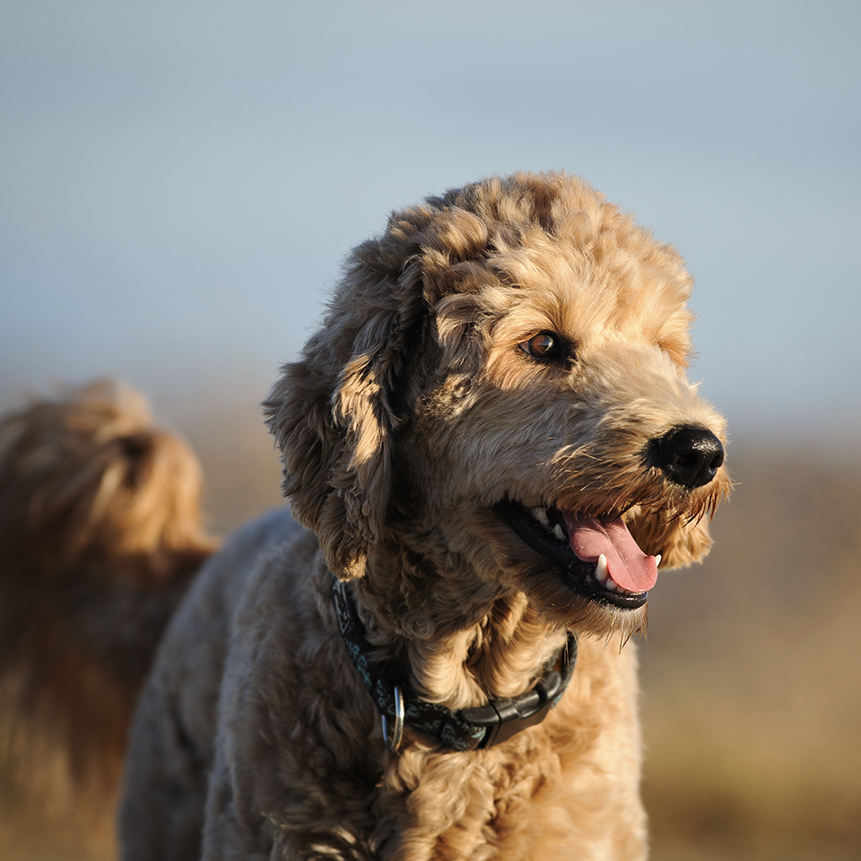 A happy goldendoodle looking towards the sun.