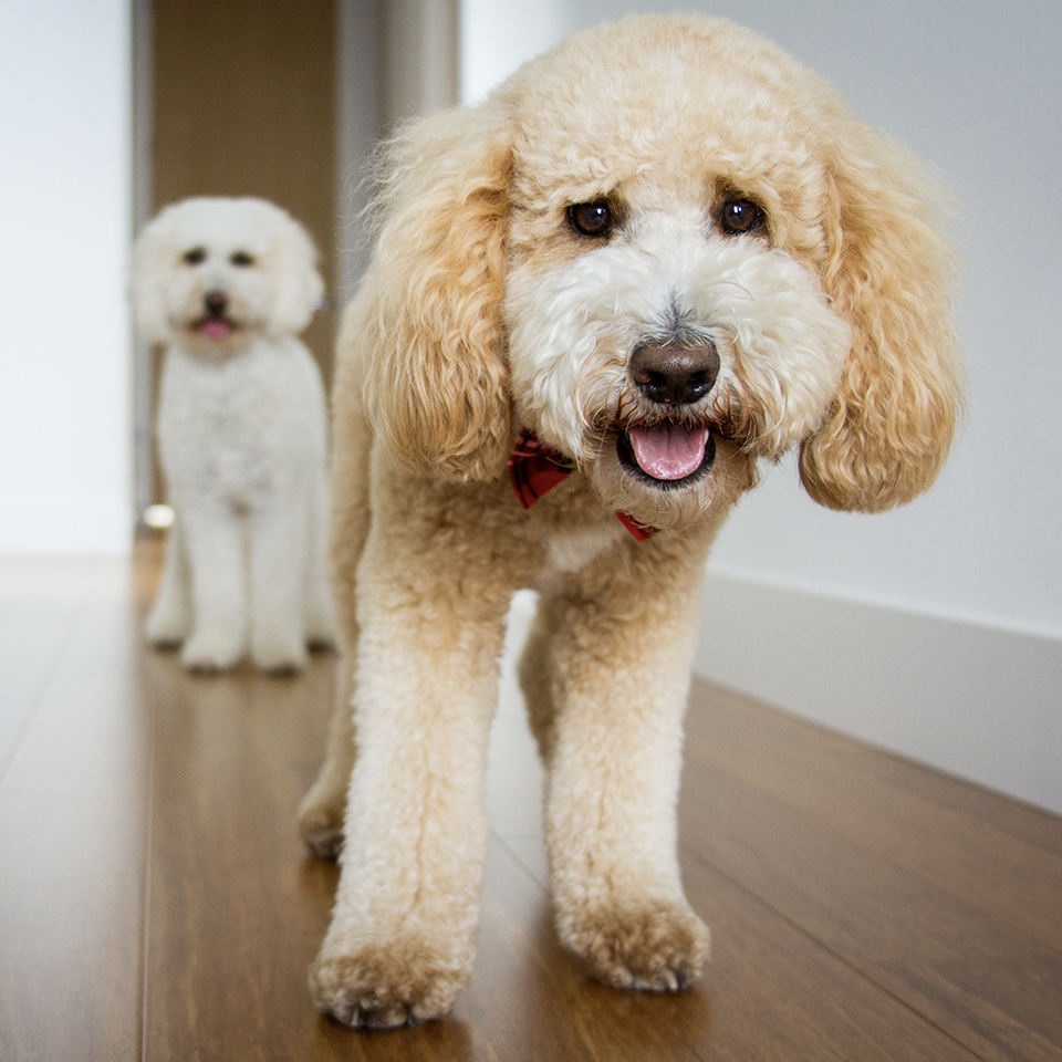 Two goldendoodles happily standing on a wooden floor.