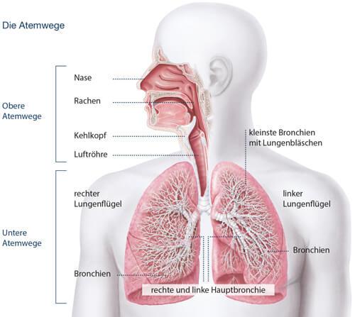 Abbildung der Atemwege des Menschen