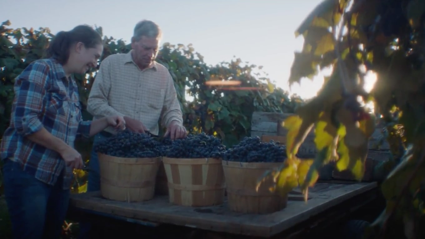 Two farmers in a field sorting Welch's Concord grapes