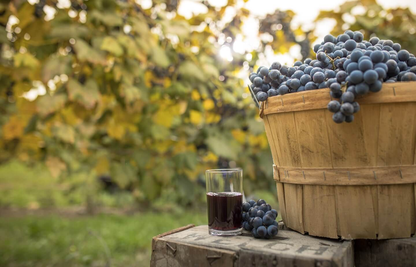 A glass of Welch's Concord grape juice and a full barrel of Concord grapes