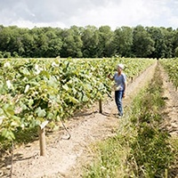 Farmer walking down the row of a vineyard on a sunny day