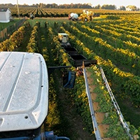 View from top of a tractor driving through a grape vineyard.