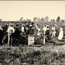 Photo of harvesters working on a Massachusetts vineyard, 1849