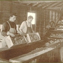Two workers in a Welch's grape sorting plant, circa 1893