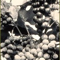 Close up of grapes on the vine, in black and white