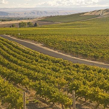Rolling hills of vineyards in Grandview, WA.