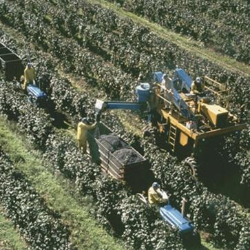 Grape harvesting tractors moving through vineyard rows.