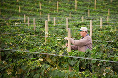 Farmer mending a fence in a lush grape vineyard