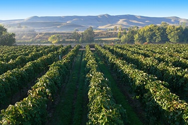 Looking down the rows of a vineyard out onto a mountain range