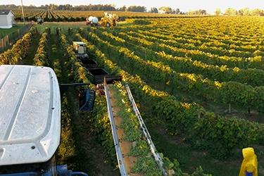 Fish-eye view of farmer driving tractor through a grape vineyard.