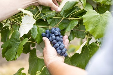Close up of hand picking grapes off the vine.