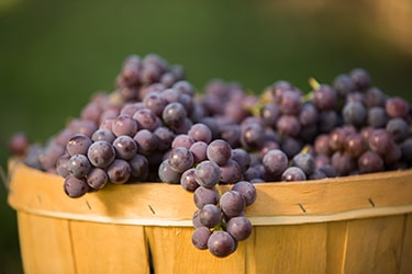 Close up of bunches of grapes in a wooden basket