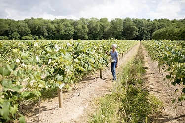 Farmer walking down row in vineyard checking grapes
