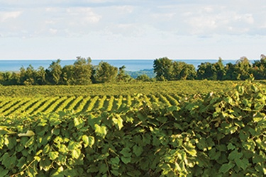 Rolling green vineyard on a hillside overlooking the ocean.